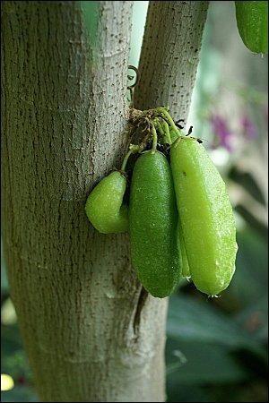 Le carambolier, arbre d'Indonésie, est aussi appelé :