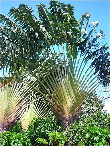 Cette plante, originaire de Madagascar, est caractérisée par la disposition de ses feuilles qui forment un immense éventail. Il est également appelé :