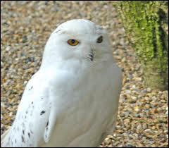 Hedwige se fait tuer :