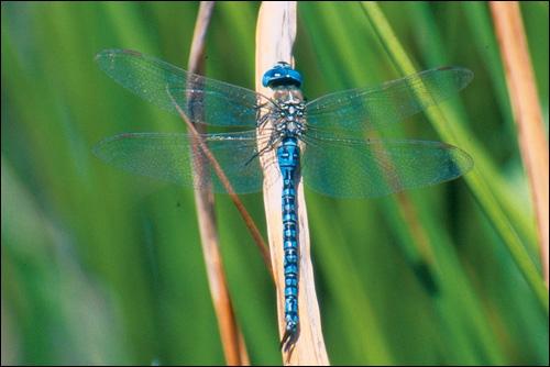 Insecte voisin de la libellule, mais plus petit et aux deux paires d'ailes presque identiques, au vol lent, c'est :