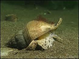 Gros mollusque gastéropode comestible des côtes de l'Atlantique, appelé également bulot.