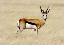 Antilope d'Afrique australe à la course extrêmement rapide et capable d'effectuer des bonds considérables pour échapper à un prédateur.