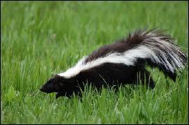 Mammifère carnivore d'Amérique, au pelage blanc et noir, qui éloigne les prédateurs en projetant à plusieurs mètres un liquide irritant et nauséabond sécrété par ses glandes anales.