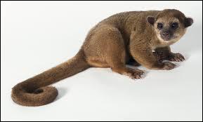 Mammifère de l'Amérique tropicale, arboricole et nocturne, à queue préhensile.