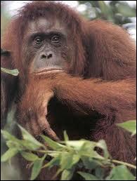 Grand singe anthropoïde herbivore de Sumatra et Bornéo, aux bras très longs, à la fourrure peu fournie et d'un brun roux.