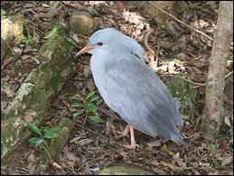 Oiseau échassier de Nouvelle-Calédonie, à aigrette, à bec et pattes rouges, devenu rare et protégé.