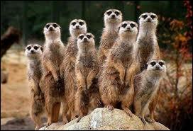 Avez-vous reconnu cette colonie aux aguets ?
