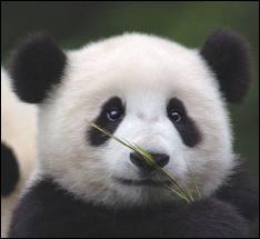 Le panda géant fait-il partie de la même famille que l'ours polaire ?