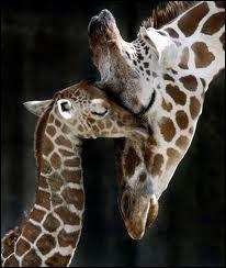Comment s'appelle le petit de la girafe ?