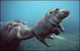 L'hippopotame amphibie peut vivre 40 ans et peser...