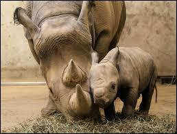 De quoi sont composées les cornes de rhinocéros ?