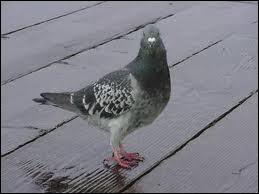 Qui a peur des pigeons ?