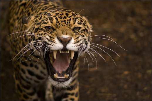 Le jaguar nage et peut plonger sous l'eau !