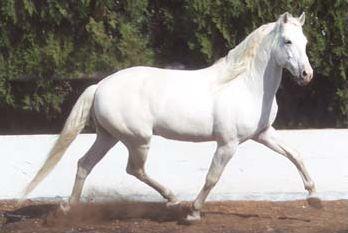 Les différentes races de chevaux