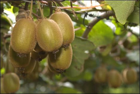 Le nom de ce fruit est aussi le surnom donné aux habitants de...