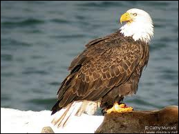 Quel oiseau rapace diurne brun à tête et queue blanches est appelé aigle de mer ?