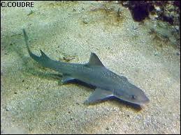 Quel petit requin comestible commun dans l'Atlantique et la Méditerranée est appelé chien de mer ?