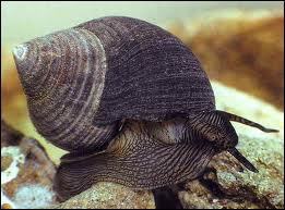 Quel mollusque gastéropode comestible est appelé escargot de mer ?