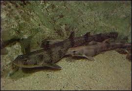Quel petit requin inoffensif des eaux littorales ne dépassant pas un mètre de long est appelé chat de mer ?
