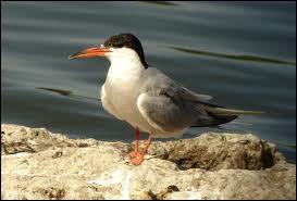 Quel oiseau palmipède à bec long droit et pointu à tête noire et à dos gris vivant sur les côtes est appelé hirondelle de mer ?