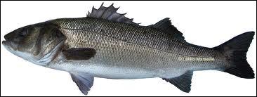 Quel poisson à chair estimée est appelé loup ou perche de mer ?