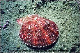 Quel mollusque bivalve comestible, vivant sur les fonds sableux des côtes d'Europe occidentale est appelé amande de mer ?