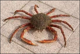 Quel grand crabe comestible des fonds vaseux du littoral atlantique, à carapace triangulaire épineuse, aux pattes très longues est appelé araignée de mer ?