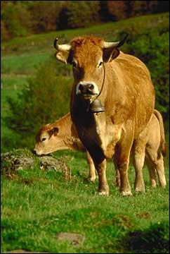 Quelle est cette race de vache ?