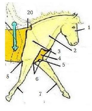 quizz passage du galop 1 les parties du corps de ta monture quiz chevaux. Black Bedroom Furniture Sets. Home Design Ideas
