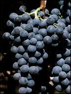 Lequel de ces raisins est un raisin noir ?