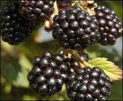 Ce fruit bien noir pousse sur une ronce, que les humains se partagent parfois avec un ver...