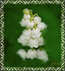 Bien qu'il soit très joli, le muguet est une plante très toxique. A votre avis, quelles parties de la plante sont nocives ?