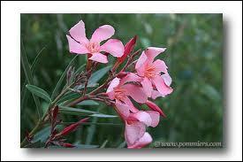 Le laurier roses est, à l'instar du muguet, une plante extrêmement dangereuse. Quelles sont les parties de cette plante les plus toxiques ?