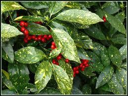 L'aucuba fait partie des plantes toxiques. Quelles sont les parties les plus nocives de cette plante ?