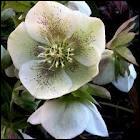 Les parties vénéneuses de l'hellébore ( ou rose de Noël ) sont ...