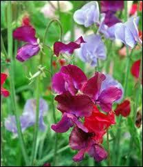 Fleur très odorante, le pois de senteur est également classé parmi les plantes toxiques. Quelles sont les parties nocives de cette plante ?