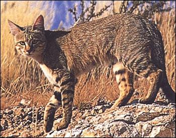 Équivalent nord-africain du chat sauvage européen, ce petit animal était sacré dans l'ancienne Égypte. Quel est son nom ?