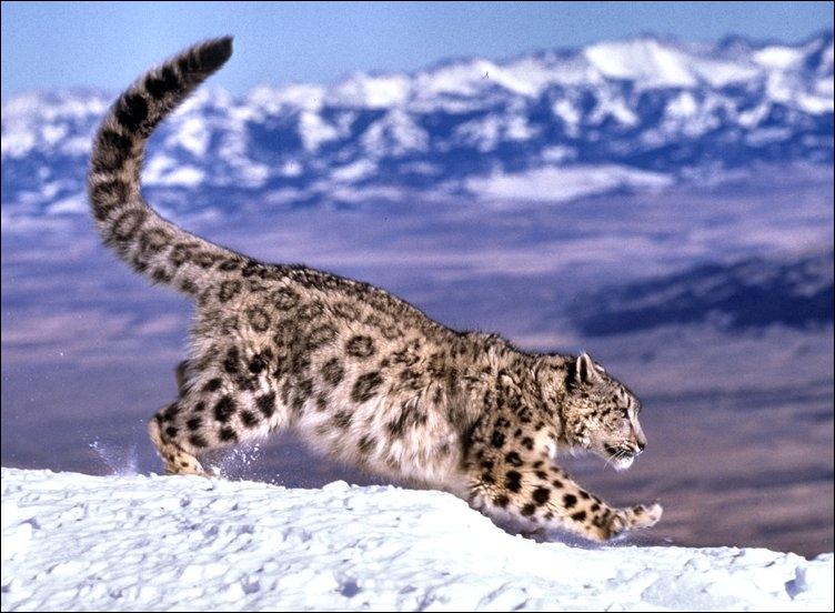 L'once est un grand félin qui habite les hautes montagnes d'Asie. Quel est son autre nom ?