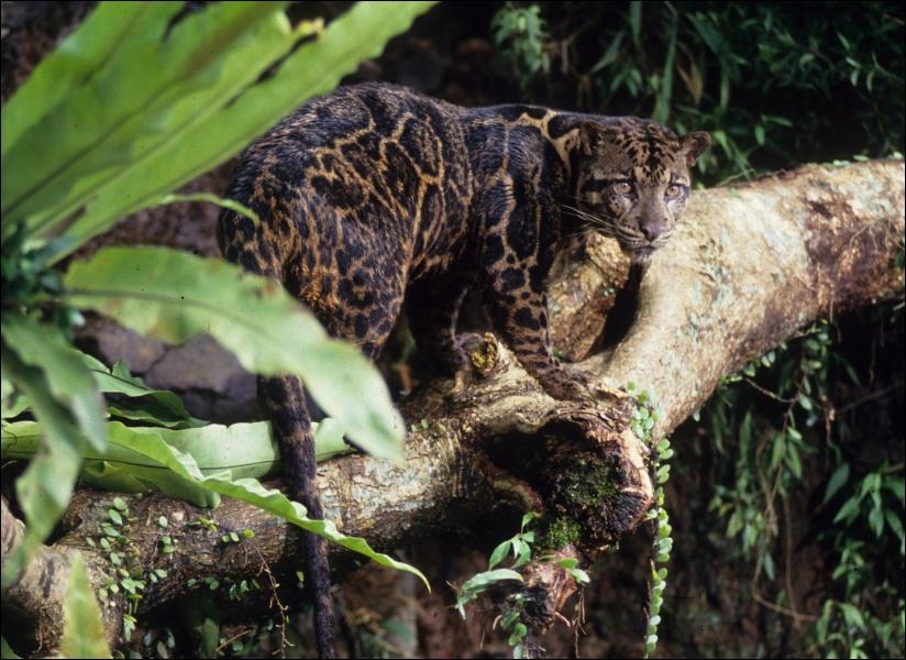 Considéré jadis comme une sous-espèce de la panthère longibande , ce félin rare habite les îles indonésiennes. Quel est son nom ?