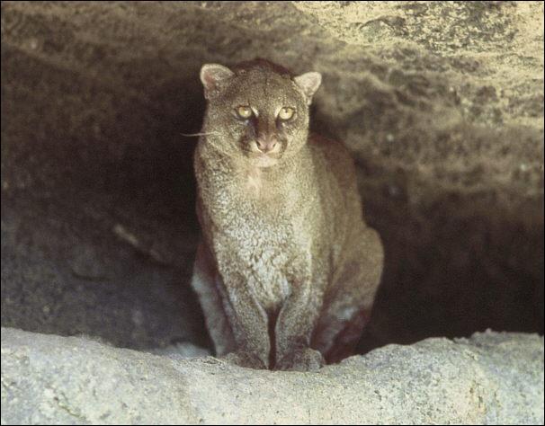Ce petit félin habite les forêts et les prairies d'Amérique centrale et du Sud. Quel est son nom ?