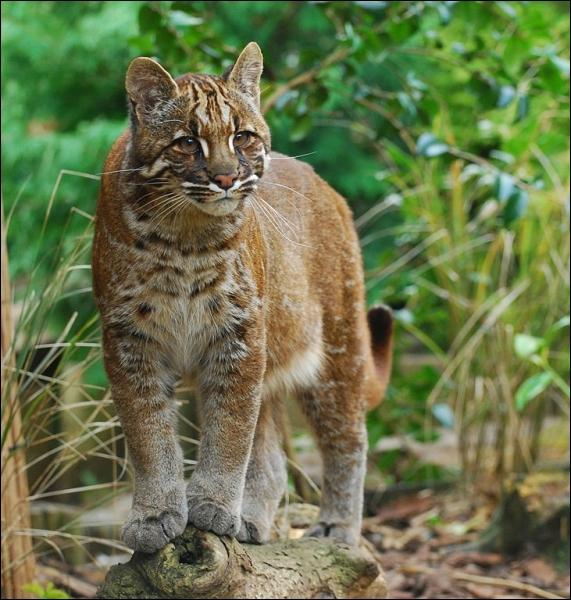 Grand chat du Sud-Est asiatique, reconnaissable à ses motifs faciaux, ce félin est une espèce rare en voie de disparition :