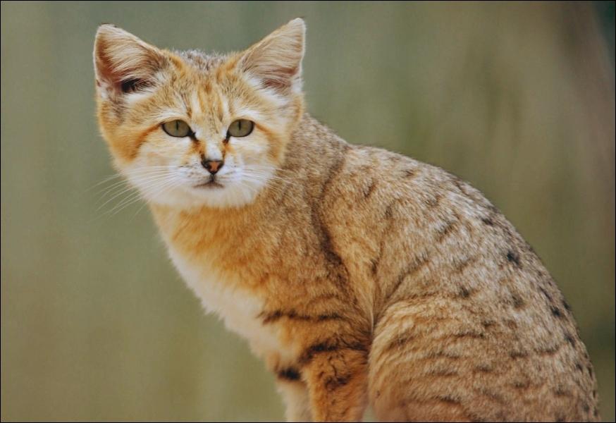 Son nom scientifique est  Felis margarita  , ce très joli chat des sable vit principalement dans les régions désertiques; quelle est son aire de répartition ?