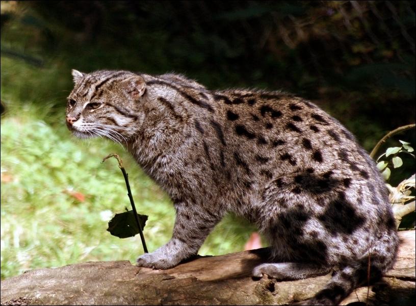Le chat pêcheur est un petit félin d'Asie bien doué pour la pêche. Sous quel autre nom est-il connu ?