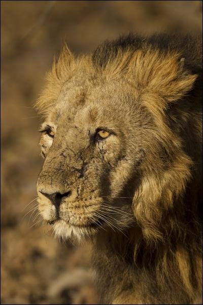 Le lion d'Asie est une sous-espèce au bord de l'extinction. Seule une petite population survit en Inde, protégée dans une célèbre forêt. Quel est le nom de cette forêt ?