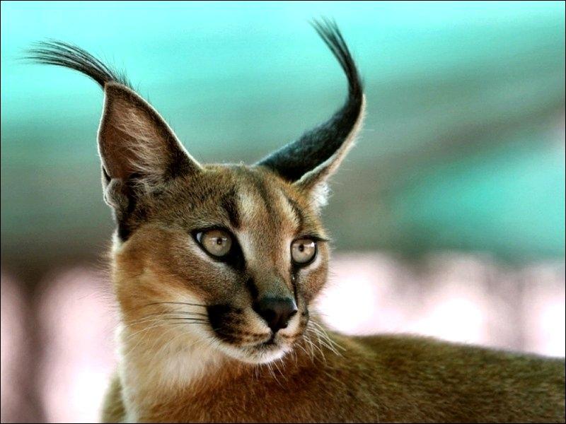 Ce félin de taille moyenne est l'équivalent africain du lynx européen et américain. Quel est son nom ?