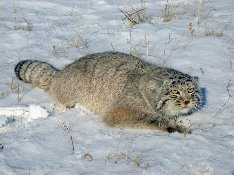 Comment s'appelle cette espèce de gros chat d'Asie, reconnaissable à ses oreilles abaissées et à son épaisse fourrure ?