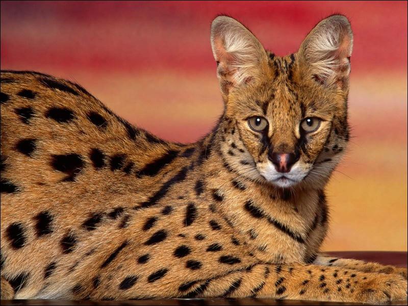 Ce félin africain est, après le guépard, le félin le plus rapide du monde. Quel est son nom ?