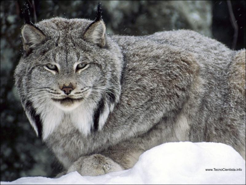 Il est le représentant américain le plus grand de la famille des lynx :