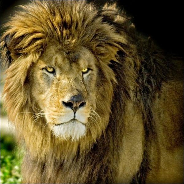 Cet animal majestueux qui assurait l'essentiel des spectacles de cirque dans la Rome antique est aujourd'hui disparu, à l'état sauvage. C'est la sous-espèce de lion la plus grande :