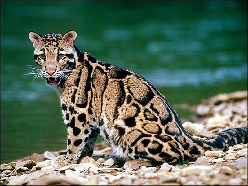 Cats that look like ocelots